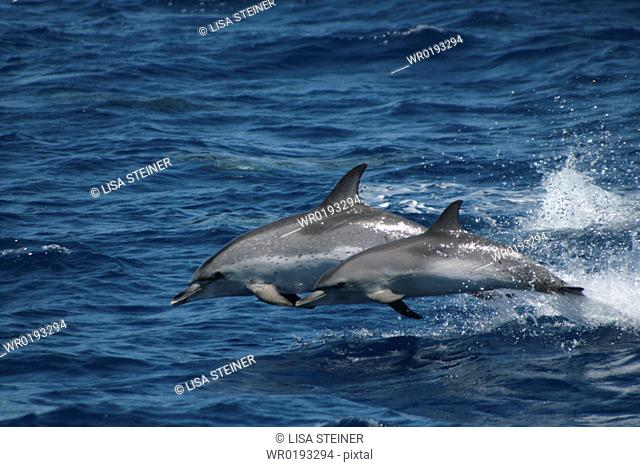 Leaping Spotted Dolphin Mother and Calf Azores, North Atlantic