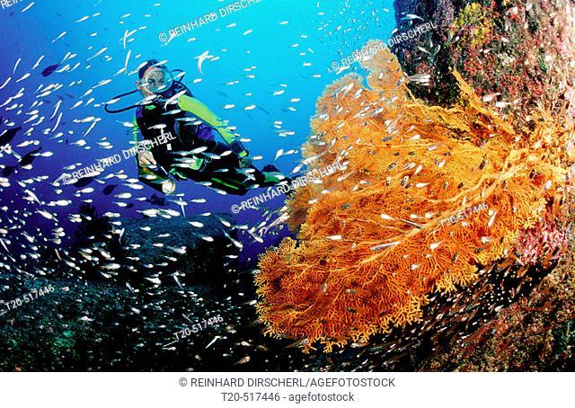 Scuba diver and coral reef. Indian Ocean, Phuket, Similan Islands, Andaman Sea. Thailand
