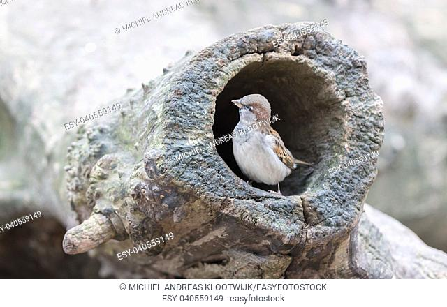 Sparrow in a hollow tree, selective focus