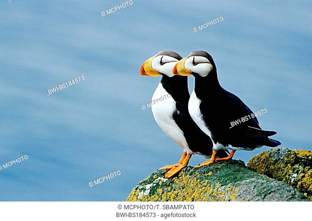 horned puffin (Fratercula corniculata), two individuals on rock, USA, Alaska, Beringsee, Round Island