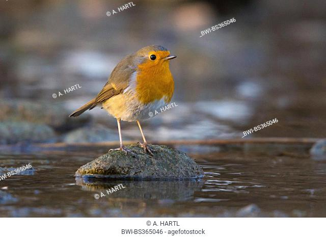European robin (Erithacus rubecula), sitting on a stone in a creek, Germany, Bavaria, Isental