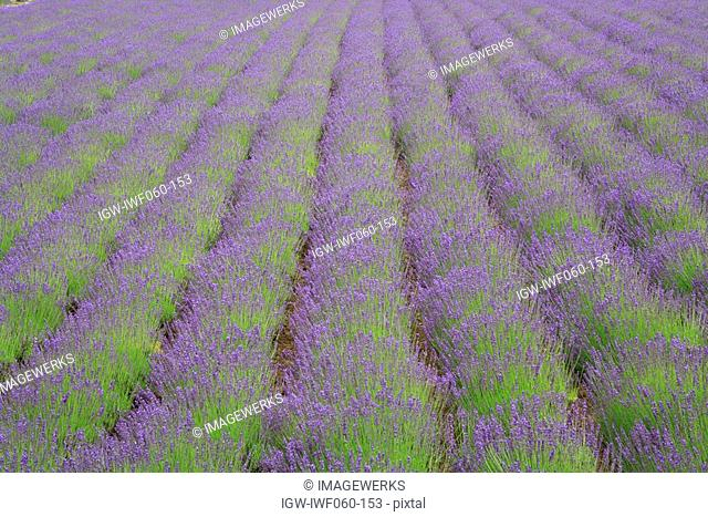 Japan, Hokkaido, Furano, Lavender field