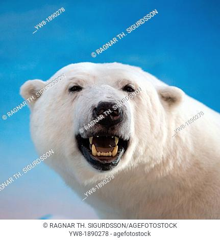 Polar bear Ursus maritimus, village of Longyearbyen, Svalbard, Norway Stuffed polar bear