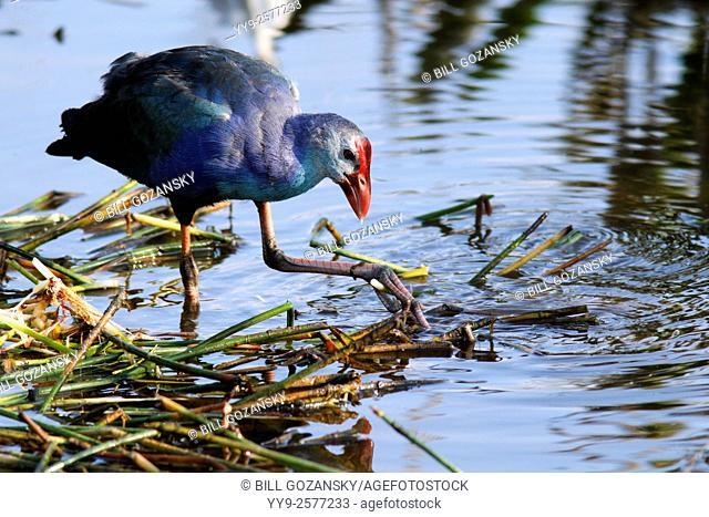 Purple Swamphen - Green Cay Wetlands - Boynton Beach, Florida USA
