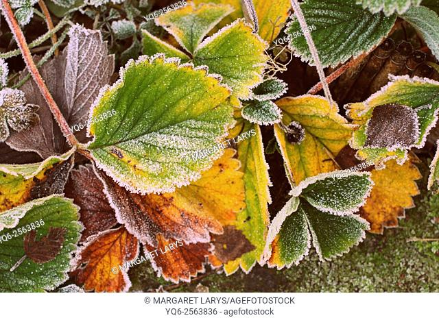 Strawberry leaves covered with frost, close up