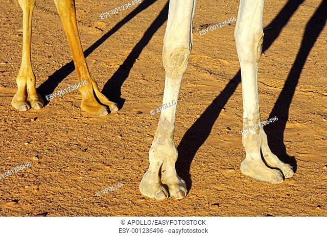 The four legs of a camel with the even number of toes, Sahara desert, Libya