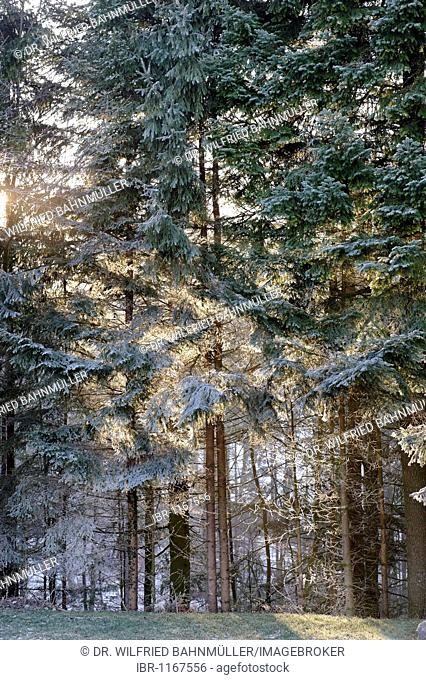 Sun shining through a hoar frost covered forest