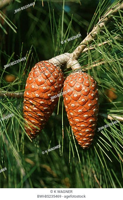 aleppo pine Pinus halepensis, twig with cones, Spain