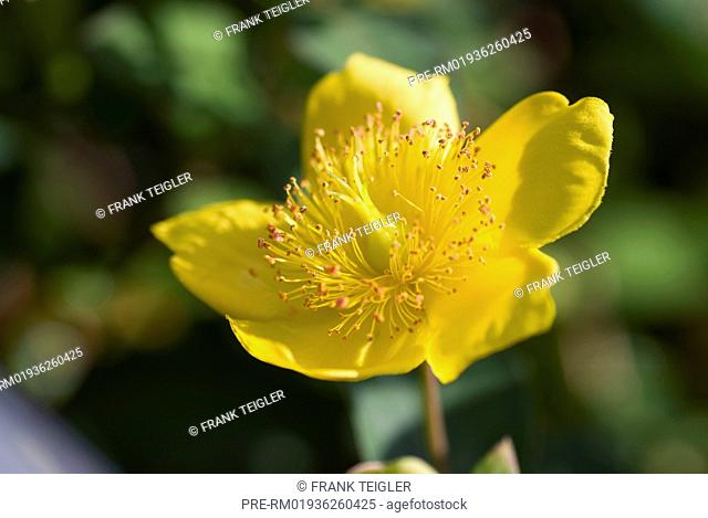 Tricolor Moser's St. John's wort, Hypericum x moserianum / Johanniskraut Moser, Hypericum x moserianum