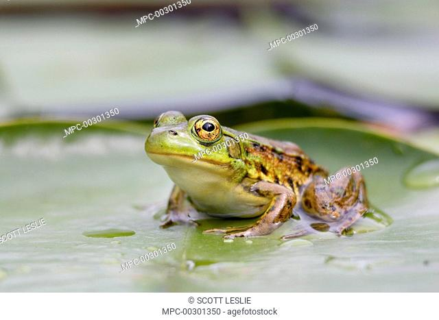 Mink Frog (Rana septentrionalis) on lily pad, West Stoney Lake, Nova Scotia, Canada