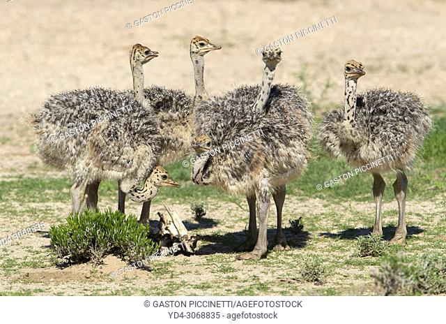 Common ostrich (Struthio camelus)-Youngs, Kgalagadi Transfrontier Park, Kalahari desert, South Africa.