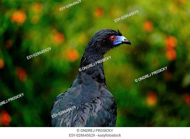 Black Guan, Chamaepetes unicolor