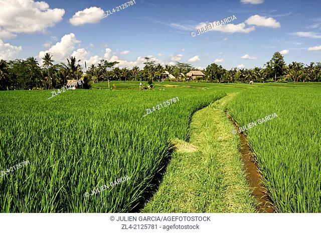 Rice fields in Ubud area. Indonesia, Nusa Tenggara, Bali, Ubud