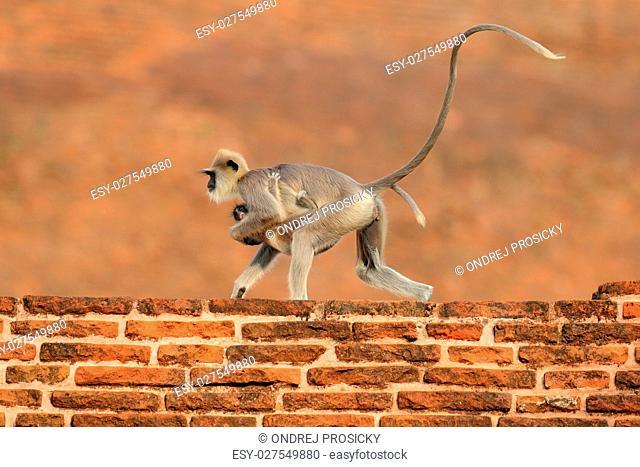 Common Langur