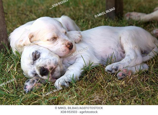 dog puppies English Setter sleeping (Canis lupus familiaris)