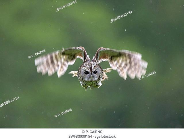Eurasian tawny owl (Strix aluco), flying, United Kingdom, Scotland, Cairngorms National Park