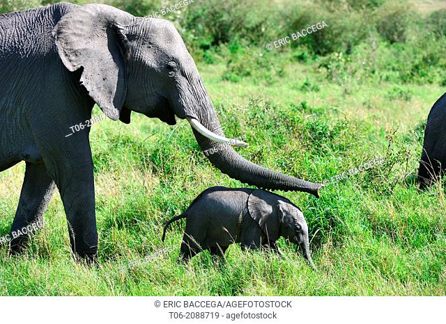 Female african elephant female touching her young calf with her trunk (Loxodonta africana), Masai Mara National Reserve, Kenya, Africa, October
