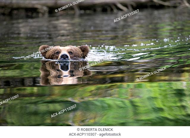 Grizzly bear (Ursus arctos horribilis), large male, swimming, Khutzeymateen Grizzly Bear Sanctuary, British Columbia, Canada
