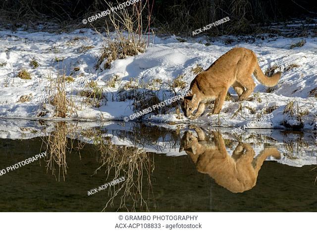 Cougar, Puma concolor, along pond edge in winter, Montana, USA