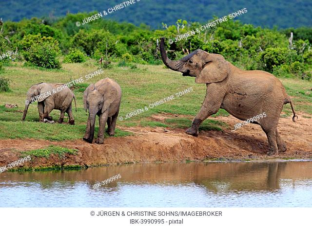 African Elephants (Loxodonta africana), female with young animals at the waterhole, Addo Elephant National Park, Eastern Cape, South Africa