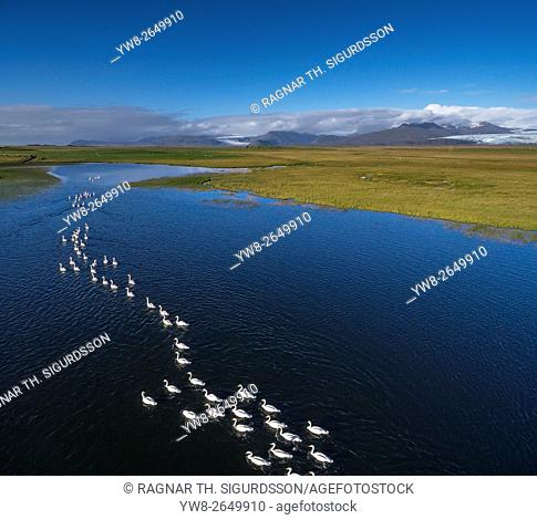 Swans swimming in formation, Flaajokull glacier in the distance, Vatnajokull Ice Cap, Iceland. This image is shot using a drone