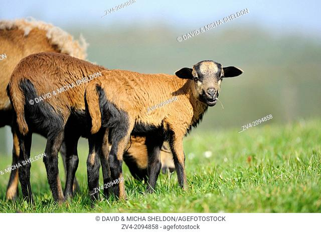 Close-up of a Cameroon sheep lambkin on a meadow in spring
