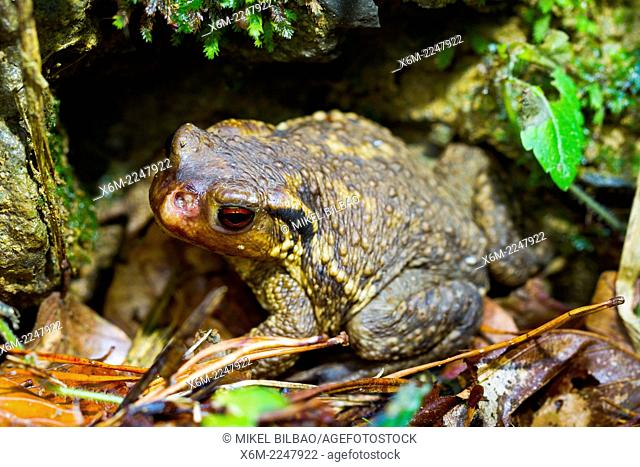 Commom toad or european toad (Bufo bufo). Irati Forest. Navarre, Spain. Europe