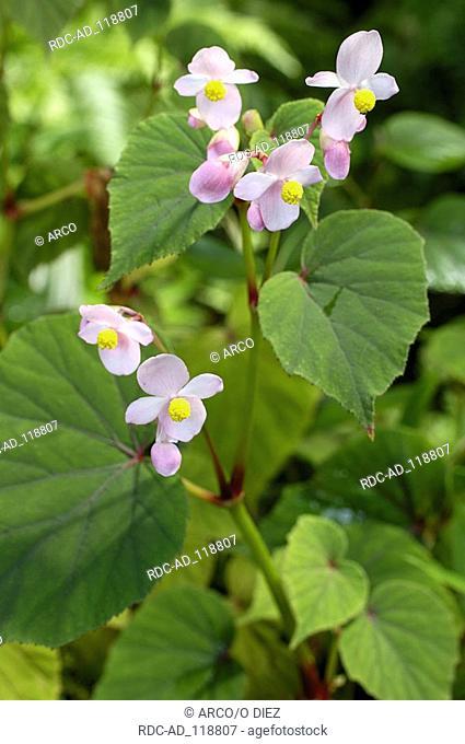Hardy Begonia Begonia grandis evansiana Begoniaceae