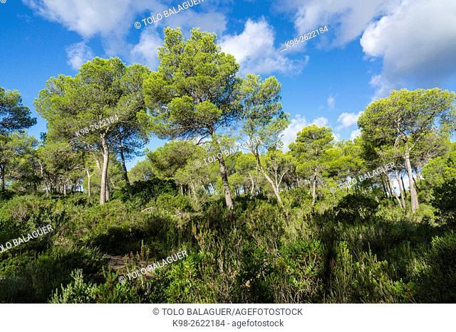 Spain, Balearic Islands, Majorca, Santa Margarida, Bay of Alcudia, Pine wood in Son Real Dunes