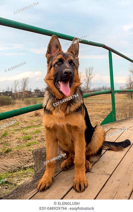 Puppy German shepherd sitting on a wooden bridge