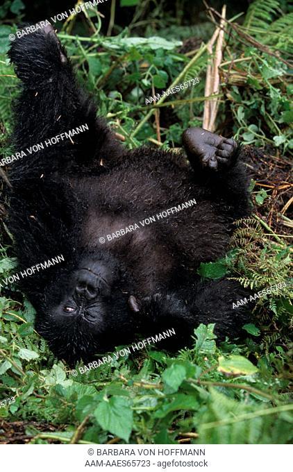 Mountain Gorilla, female lying on Back Parc de Volcans, Rwanda (G. g. beringei)