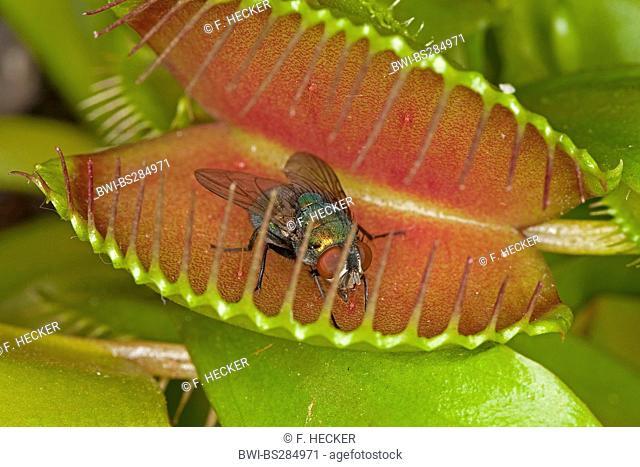 Venus Flytrap, Venus's Flytrap, Venus' Flytrap, Venus Fly Trap, Venus's Fly Trap, Venus' Fly Trap, Fly-Trap (Dionaea muscipula), leaf trap with prey