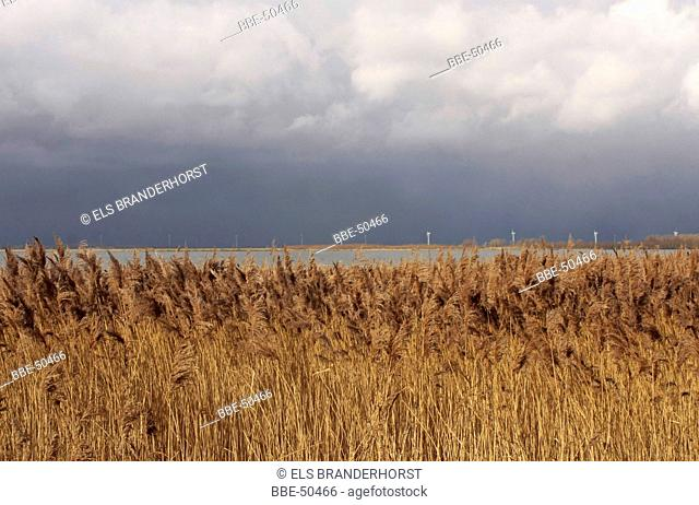 Common reed at the side of a lake, on the other side windmills