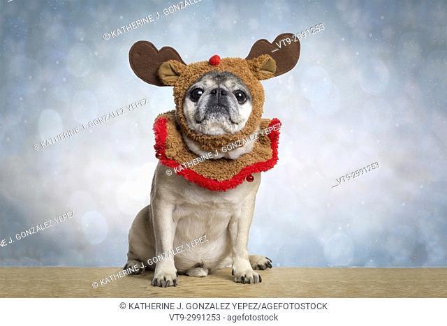 Pug dressed up as a reindeer