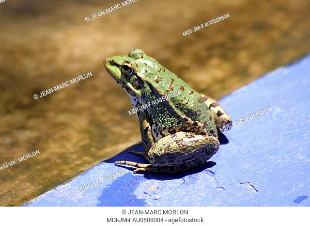 Green frog in the Bagatelle gardens - Morocco