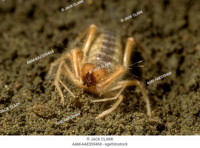 Wind Scorpion or Solpugid (Eremobates sp) fierce predator and seldom seen