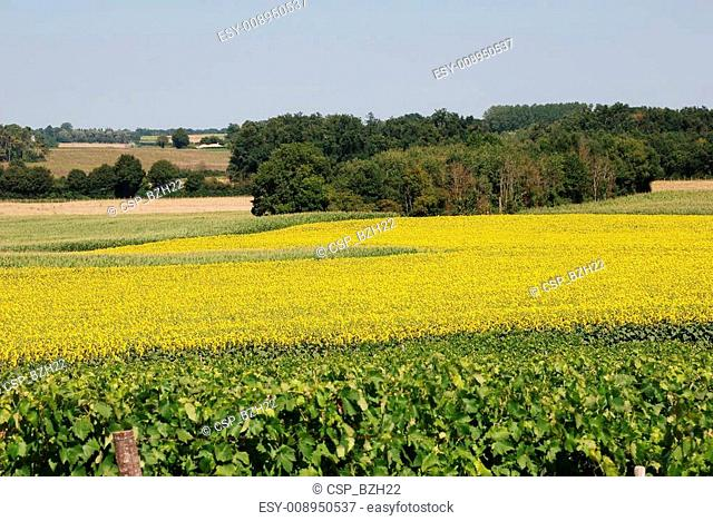 vineyard in front of a field of sunflowers