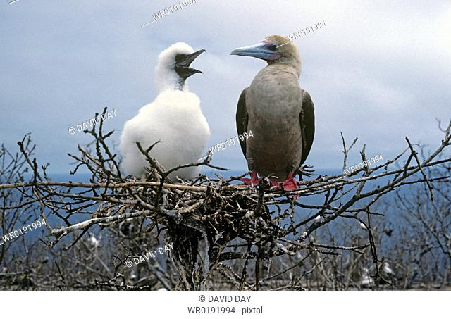 Red-footed booby adult on open nest with large fluffy chick Sula sula Darwin Island, Galapagos, Ecuador