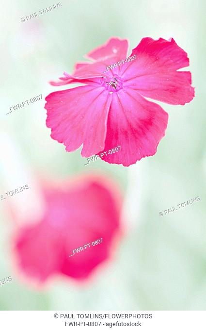 Close view of crimson flower of Rose campion, Lychnis coronaria with another behind