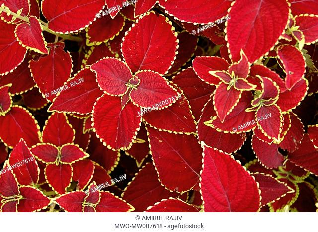 Colored Leaves, Narshingdi Bangladesh July 6, 2007