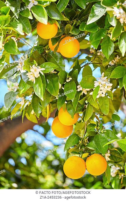 Ripen oranges in an orange tree. Valencia. Valencia Community. Spain