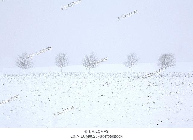 England, Cambridgeshire, Cambridge, Trees in a snow storm. January and February are the snowiest months in the UK, whilst snow is more likely in March and April...