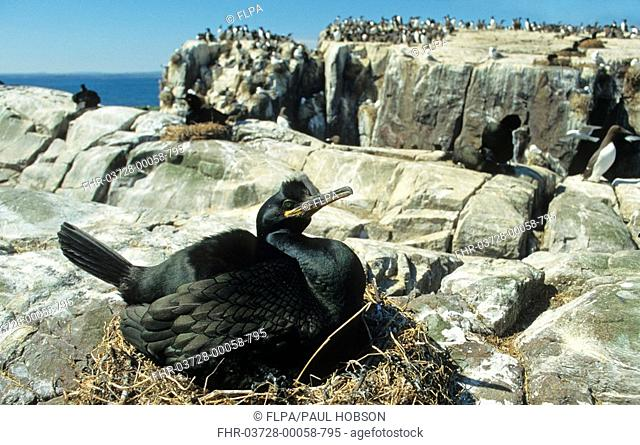 European Shag Phalacrocorax aristotelis adult on nest, Farne Islands, Northumberland, England