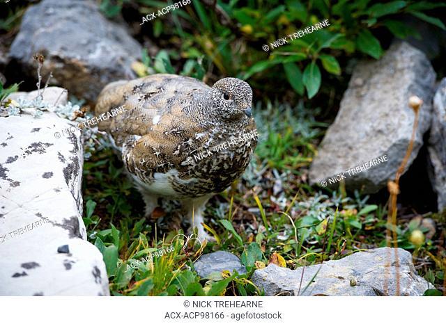 rock ptarmigan, Lagopus leucura