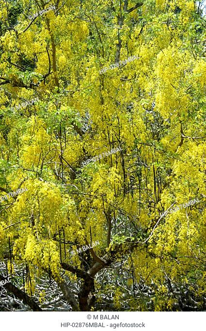 KANIKONNA CASSIA FISTULA, RELATED TO VISHU, OFFICIAL FLOWER OF KERALA
