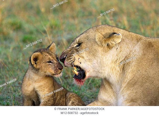 Lioness gets agitated with cub after feeding