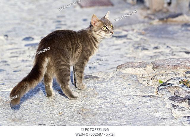 Europe, Greece, Cyclades, Santorini, Cat standing on street