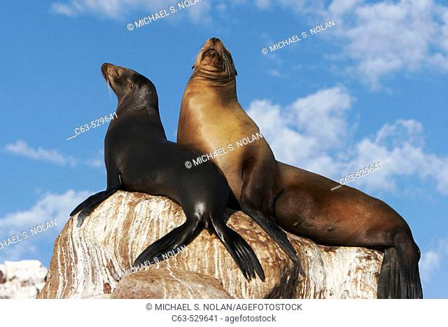 Mother and pup California Sea Lion (Zalophus californianus) in the Gulf of California (Sea of Cortez), Mexico