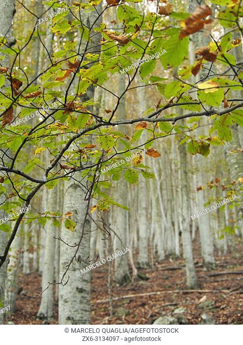 Autumn beech forest at Font de Llops fountain site. Montseny Natural Park. Barcelona province, Catalonia, Spain
