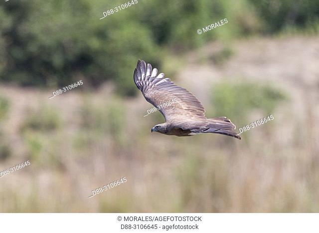 Asia, India, Uttarakhand, Jim Corbett National Park, Lesser fish eagle (Haliaeetus humilis), in flight